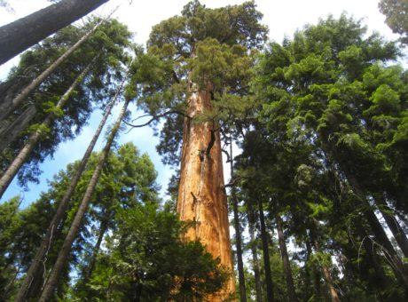 ancient-sequoias